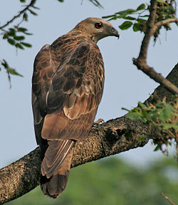 250px-Oriental_Honey-buzzard_(Pernis_ptilorhynchus)-_Male_at_Kolkata_I_IMG_7451